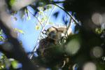 Black howler monkey (Alouatta caraya) [bonito_0531]