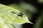 Blue-eyed dragonfly [bonito_0562]