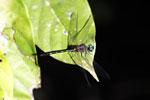 Blue-eyed dragonfly [bonito_0563]