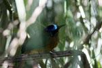 Amazonian Motmot (Momotus momota) [bonito_0589]