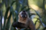 Black-capped capuchin (Cebus apella)