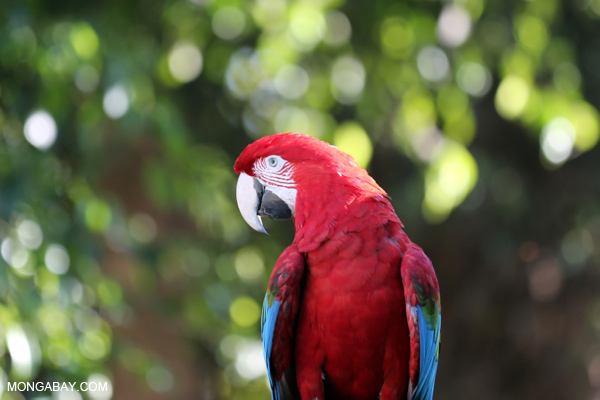 Scarlet macaw. Photo by Rhett Butler.