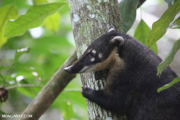 Coatimundi in a tree