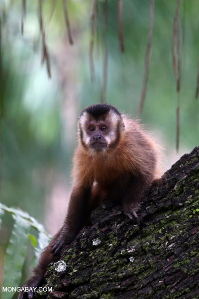 Black-striped capuchin (Sapajus libidinosus)