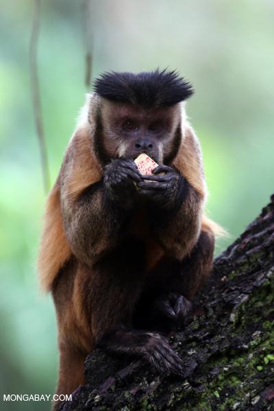 Black-striped capuchin (Sapajus libidinosus) [bonito_0438]