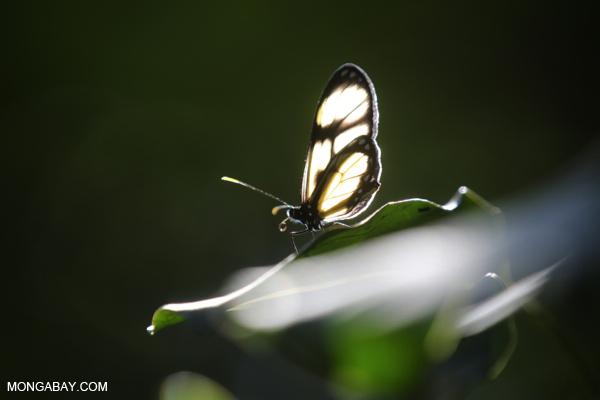 Butterfly [bonito_0552]