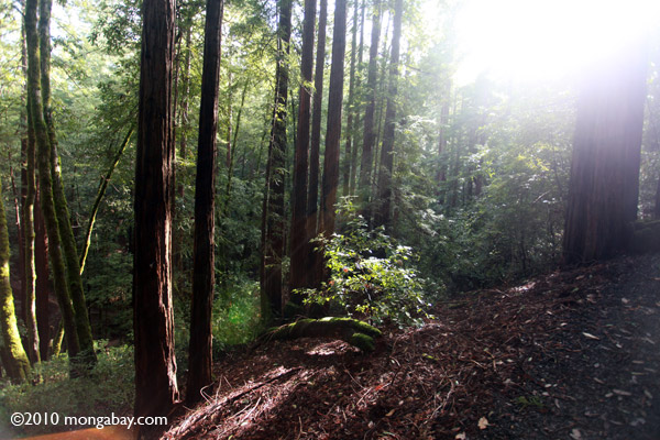 Redwood trees in Huddart County Park. Photo by: Rhett A. Butler.