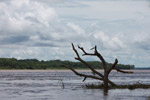 Tree floating down the Amazon river