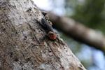 Thorny tail canopy iguana (Uracentron flaviceps)