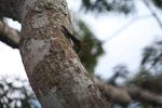 Amazon thornytail (Uracentron flaviceps) [colombia_0315]