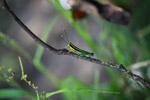 Yellow, green, and black grasshopper (Mastusia quadricarinata)