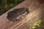 Rhinella marina toad (Linnaeus, 1758)