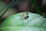 Orange, metallic green, and black assassin bug [colombia_0567]