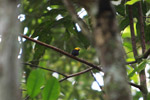 Golden-headed Manakin (Pipra erythrocephala) [colombia_0638]
