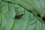 Tetrataenia surinama grasshopper