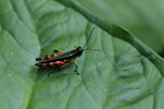 Turquoise, green, yellow, orange, red, and black grasshopper (Tetrataenia surinama)
