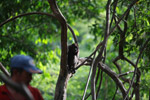 Common woolly monkey (Lagothrix lagotricha) [colombia_0777]