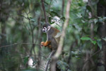 Common Squirrel Monkey (Saimiri sciureus) [colombia_0779]