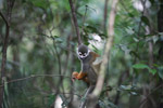 Colombian Squirrel Monkey (Saimiri sciureus) [colombia_0780]