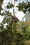 Common woolly monkey (Lagothrix lagotricha) [colombia_0807]