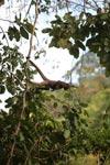 Common woolly monkey standing horizontally