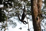 Common woolly monkey (Lagothrix lagotricha) [colombia_0819]