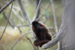 Common woolly monkey (Lagothrix lagotricha) [colombia_0841]