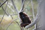 Common woolly monkey (Lagothrix lagotricha) [colombia_0842]