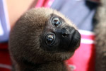 Common woolly monkey at a rehabiltiation center for animals trafficked for the pet trade [colombia_0856]