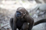 Common woolly monkey (Lagothrix lagotricha) [colombia_0886]