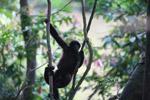 Baby woolly monkey (Lagothrix lagotricha)