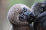 Common woolly monkey at a rehabiltiation center for animals trafficked for the pet trade [colombia_0900]