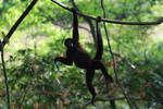 Common woolly monkey (Lagothrix lagotricha) [colombia_0952]