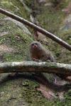 Pygmy Marmoset (Cebuella pygmaea) [colombia_0990]