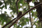 Pygmy Marmoset (Cebuella pygmaea) [colombia_0992]