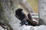 Common woolly monkey (Lagothrix lagotricha) [colombia_1057]