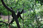 Common woolly monkey (Lagothrix lagotricha) [colombia_1148]