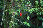 Red passion vine flower in the Amazon rainforest
