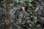 Red passiflora flower