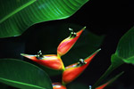 Red bird of paradise flower