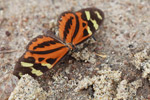Tiger Longwing Butterfly (Heliconius hecale) [colombia_1403]