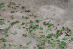 Leafcutter ants [colombia_1419]