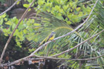 Tropical Kingbird (Tyrannus melancholicus) [colombia_1437]