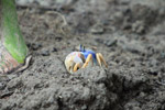 Blue Land Crab (Cardisoma guanhumi) [colombia_1476]