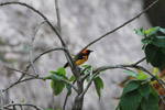 Orange-crowned Oriole (Icterus auricapillus) [colombia_1487]