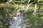 Common Basilisk running across water