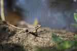 Common Basilisk (Basiliscus basiliscus) [colombia_1511]