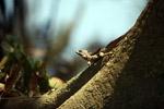 Male Basilisk (Basiliscus basiliscus)