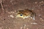 Toad missing its front leg