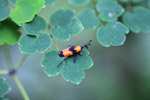 Orange and black weevil